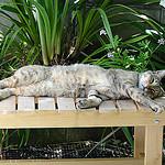 気儘日記:ポークタツタ食いゴーヤが育ってアサガオ植え猫入れ替わるw