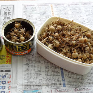 アサガオの種を子房から取り出す作業をしたぞ!種がたくさん収穫できたw [日刊きまでん Vol.26]
