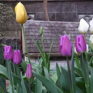 今年も庭にチューリップが咲いたぞ〜!来年は赤も植えようっと [日刊きまでん Vol.46]