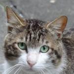 猫日記:通い猫である「二代目シロキジ」の撮影に成功!よく見るとカワイイ顔をしていますね〜