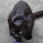 猫日記:新たな猫「チビクロ」が訪れるようになった!ってか君はクロと同一猫なのか?それとも兄弟?
