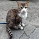 猫日記:シロキジのきぃちゃんがついにスリスリするようになったぞ!臆病だった性格はどこいった?