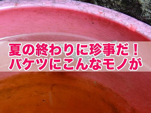 バケツにヤモリ(title)