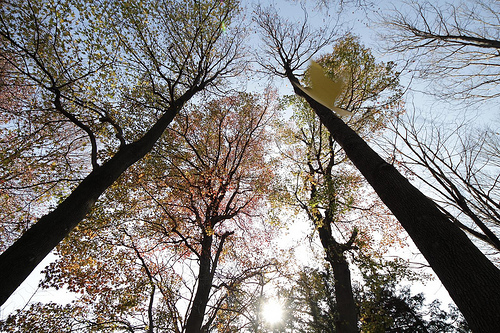 Photo:Huge trees and a falling leaf By:Takashi(aes256)